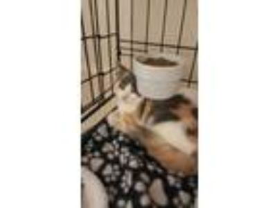 Adopt CARYS a Calico or Dilute Calico Calico (short coat) cat in Houston