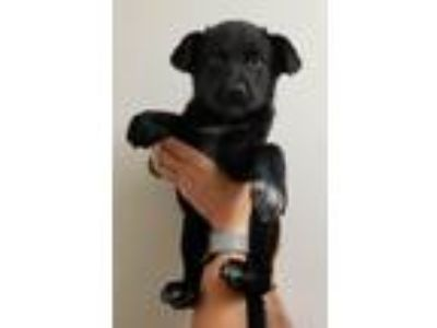 Adopt Blackberry a Labrador Retriever, Chow Chow