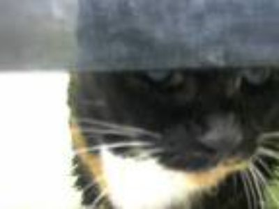 Adopt TINA a Calico or Dilute Calico Domestic Shorthair / Mixed (short coat) cat