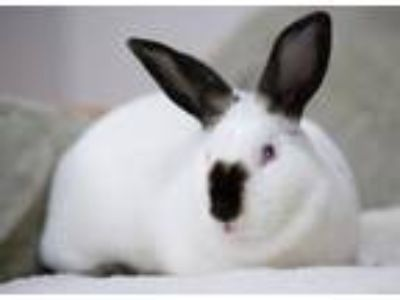 Adopt Bambi a Californian / Mixed (short coat) rabbit in Pflugerville