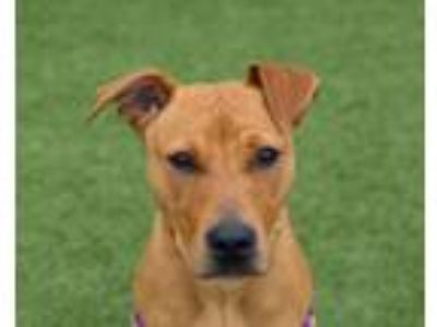 Adopt Missy a Pit Bull Terrier, Mixed Breed