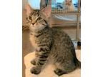 Adopt Kit a Brown Tabby Domestic Shorthair (short coat) cat in Barrington Hills