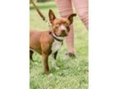 Adopt Pixie **Pocket Pit** a Pit Bull Terrier