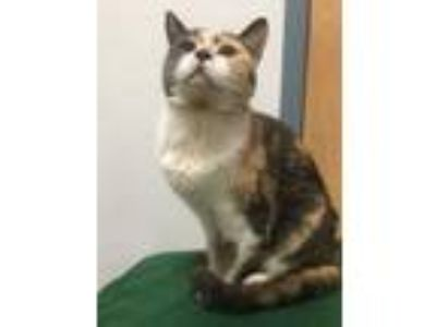 Adopt Naomi a Gray or Blue Maine Coon / Domestic Shorthair / Mixed cat in Morton