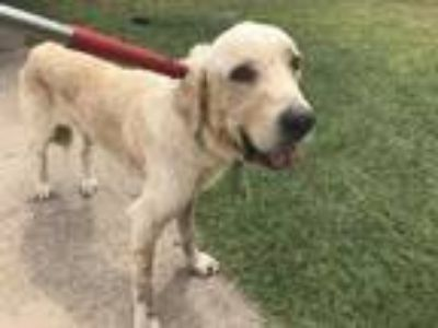 Adopt 42431168 a Tan/Yellow/Fawn Labrador Retriever / Mixed dog in Fort Worth
