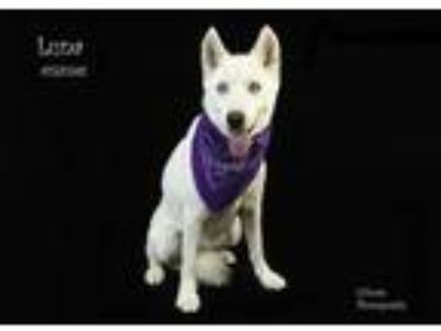 Adopt Dog a White Husky / Mixed dog in Thousand Palms, CA (25751940)