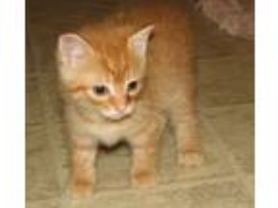 Adopt Barsik (baby boy) a Domestic Short Hair