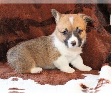 Corgi Puppies For Sale Craigslist - petfinder