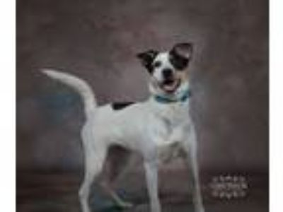 Adopt Pippy a Jack Russell Terrier, Cattle Dog