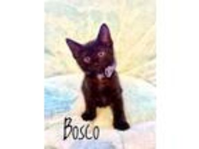 Adopt Bosco a All Black Domestic Mediumhair (short coat) cat in Bentonville