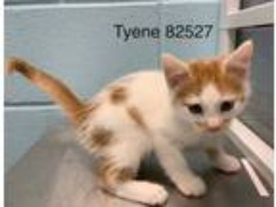 Adopt TYENE a Domestic Short Hair