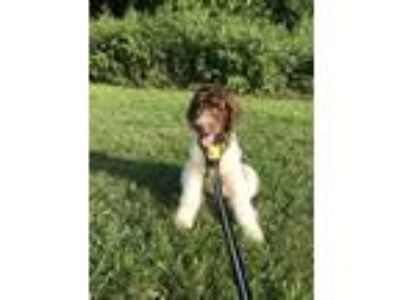 Adopt Duffy a Brown/Chocolate - with White Newfoundland / Poodle (Standard) dog