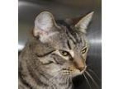 Adopt Matcha a Brown Tabby Domestic Shorthair / Mixed (short coat) cat in Hilton