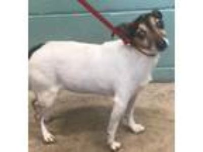 Adopt Penny a White Jack Russell Terrier / Mixed dog in Cleveland, OH (25307272)