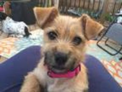 Adopt McDouble $400 a Terrier (Unknown Type, Small) / Mixed dog in Milwaukee
