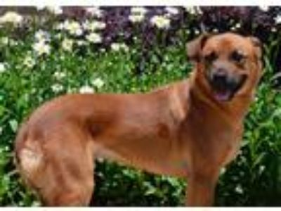 Adopt Angel a Labrador Retriever / Boxer / Mixed dog in Canton, GA (25502148)