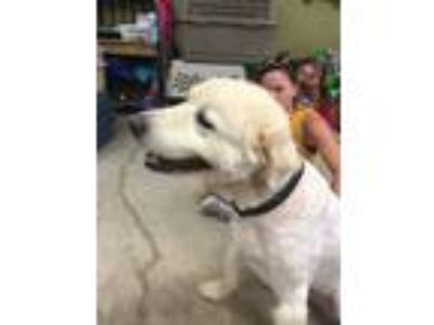 Adopt Bella a White Great Pyrenees / Anatolian Shepherd / Mixed dog in Earl