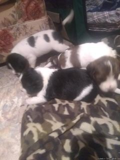 English Springer Spaniel Mix puppies
