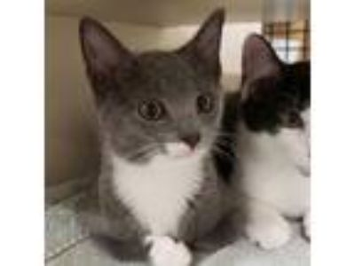 Adopt Anchovy a Gray or Blue (Mostly) Domestic Shorthair (short coat) cat in
