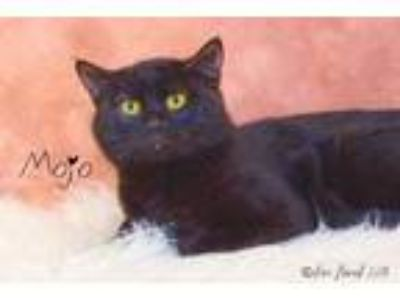 Adopt Mojo a All Black Domestic Shorthair / Domestic Shorthair / Mixed cat in