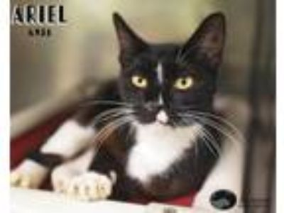 Adopt Ariel a Domestic Short Hair