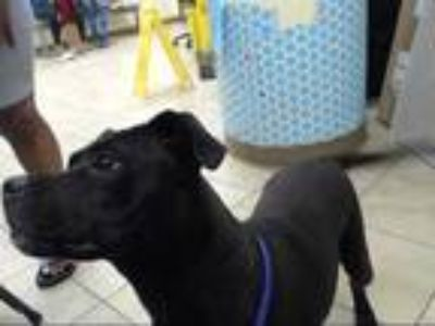 Adopt SHERA a Black American Pit Bull Terrier / Mixed dog in Houston