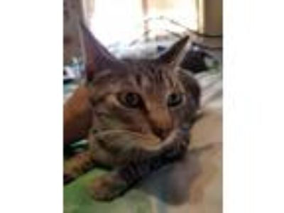 Adopt Popsicle AKA Pop a Domestic Shorthair / Mixed (short coat) cat in Napa