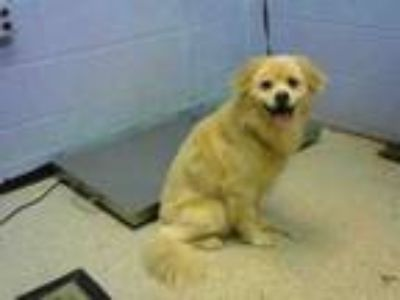 Adopt DANDELION a Chow Chow, Mixed Breed