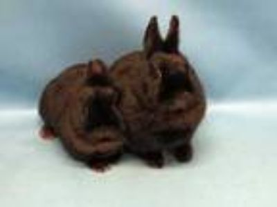 Adopt Sushi a Black Netherland Dwarf / Mixed rabbit in Golden Valley