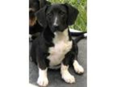 Adopt Pebbles a Black - with White Basset Hound / Dachshund / Mixed dog in
