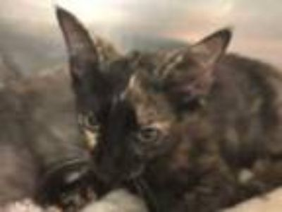 Adopt EMILY a Tortoiseshell Domestic Shorthair / Mixed (short coat) cat in