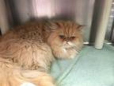 Adopt LULABELLA a Orange or Red Persian / Mixed (long coat) cat in Murray