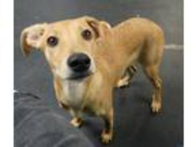 Adopt Flower a Tan/Yellow/Fawn - with White Labrador Retriever / Mixed dog in