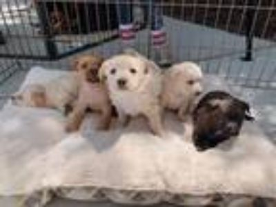 Adopt Babies a Tan/Yellow/Fawn Dachshund / Spaniel (Unknown Type) / Mixed dog in