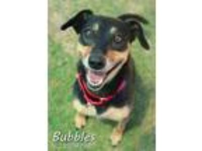 Adopt Bubbles a Brown/Chocolate Labrador Retriever / Terrier (Unknown Type