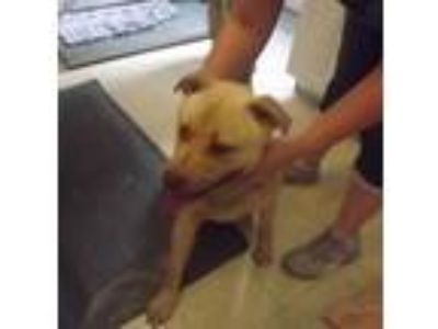 Adopt Fatso a Pit Bull Terrier, Golden Retriever