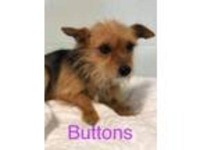 Adopt Buttons a Yorkshire Terrier
