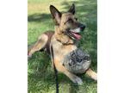 Adopt Pechanga a Black - with Tan, Yellow or Fawn German Shepherd Dog / Mixed