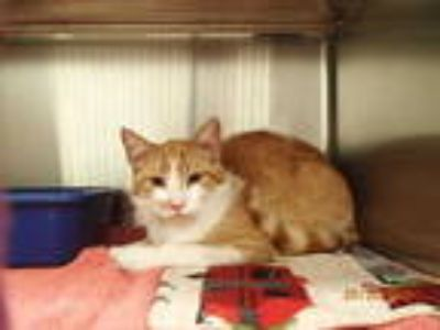 Adopt MR BEAN a Orange or Red (Mostly) Domestic Shorthair / Mixed (short coat)