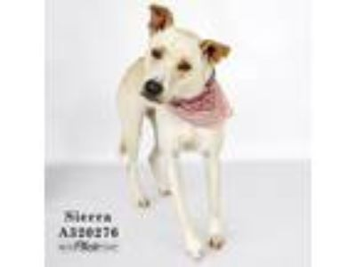 Adopt SIERRA a Red/Golden/Orange/Chestnut Labrador Retriever / Mixed dog in