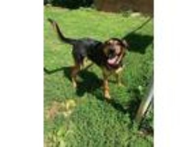 Adopt Murdock a Black - with Tan, Yellow or Fawn Shepherd (Unknown Type) / Mixed