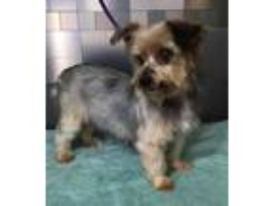 Adopt Lady SDR in TX a Yorkshire Terrier