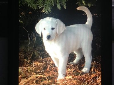 Labrador Retriever PUPPY FOR SALE ADN-108994 - White Labrador Puppies
