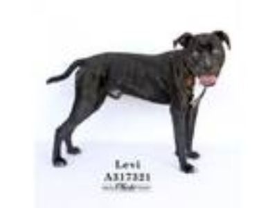 Adopt LEVI a Pit Bull Terrier, Mixed Breed