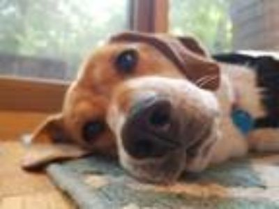 Adopt Leslie-Jean (Has Application) a Beagle dog in Washington, DC (25297541)