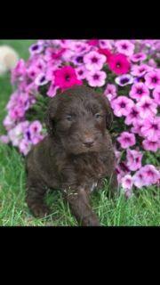 Goldendoodle PUPPY FOR SALE ADN-79326 - 2nd generation Goldendoodles  WILL SHED LESS