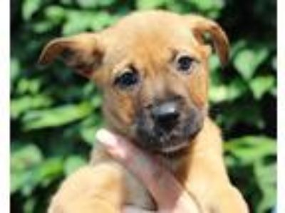 Adopt Starburst a Brown/Chocolate - with Black Shepherd (Unknown Type) / Mixed