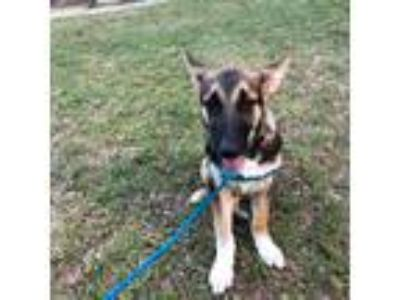 Adopt Mars a Black - with Tan, Yellow or Fawn German Shepherd Dog / Mixed dog in