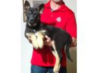 Adopt Hope a Black - with Tan, Yellow or Fawn German Shepherd Dog / Mixed dog in