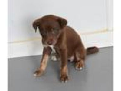 Adopt VALIA a Brown/Chocolate - with White Labrador Retriever / Shepherd